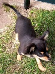Chihuahua abzugeben - reserviert