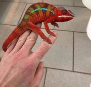 Furcifer Pardalis Ambilobe Red