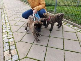 American Akita Welpen: Kleinanzeigen aus Bad Frankenhausen - Rubrik Hunde