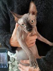 Canadian Sphynx Junge 4 Monate