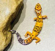 Eublepharis macularius Leopardgeckos NZ 21