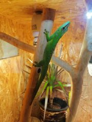Großer Madagaskar Taggecko 2 Weibchen