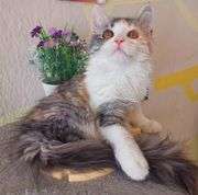 Rarität - Traumhafte Edelrassemix-Kitten suchen DICH