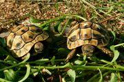 Griechische Landschildkröten Thb Nachzucht 2020