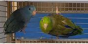Blaugenick Sperlingspapageien Paar