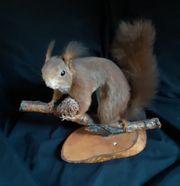 Tierpräparat Eichhörnchen