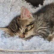 Kitten Katzenbabys