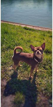 Chihuahua deckrüde Schoko tan KEIN