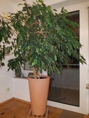 Pflanze Ficus Banjamina