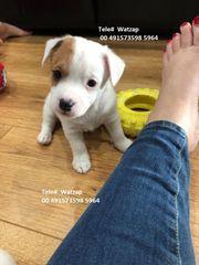 Bemerkenswerte Jack Russell Terrier Welpen