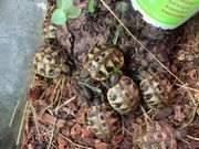 Schildkröte Landschildkröte
