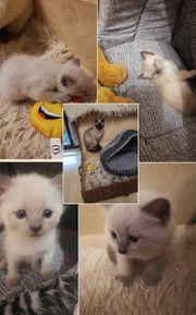 Superschöne Siam Kitten