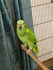 Reserviert 2 Papageien blaustirnamazone