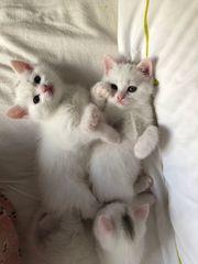 Babykatzen Britisch Kurzhaar Weiß BHK