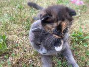Babykatze Scottish Fold Mix