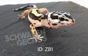 Leopardgeckos Zorro Bandit