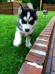 Husky Welpen Huskies Siberian Welpen