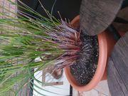 Palma Pflanze