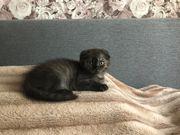Süße Scottish Fold Katze
