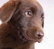 Nur noch 3 braune Labrador
