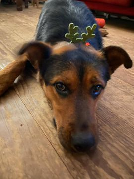 Bild 4 - aufmerksame aufgeschlossene Schäferhundmischlingshündin Lora sucht - Rüsselsheim
