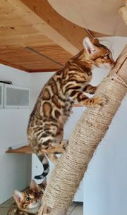 Bengal Kitten Brown Tabby Spotted