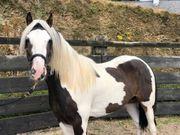 Top Pony Tinkerwallach 5 j