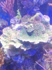 Meerwasser Echinopora Lamelossa lps