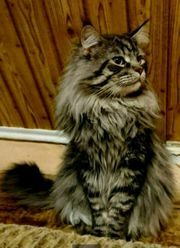 Maine Coon Deckkater