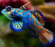 Synchiropus Splendidus Mandarin Leierfisch Meerwasser