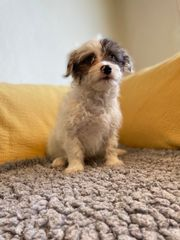 Bezaubernde Malteser-Chihuahua Mix Welpen