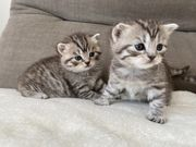 BKH Silver Tabby Classic Kitten