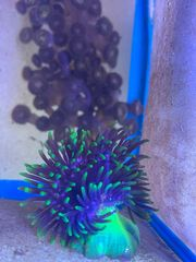 Kupferanemone Kupferanemone Mini sp grün
