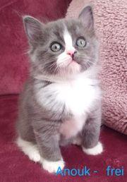 Reinrassige solid farbene Ragdoll Kitten