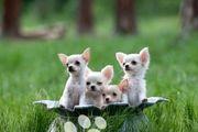 Erstklassige Chihuahua Welpen