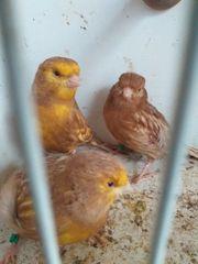 kanarienvögel phaeo
