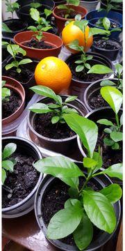 Ich verkaufe Orangenpflanzen