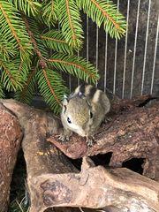 Streifenhörnchen Chipmunks Backenhörnchen