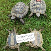 Landschildkröte Griechen