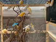Kanarienvögel gesucht