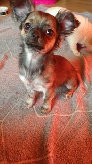 Chihuahuawelpen PL-freie Eltern