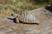Griechische Landschildkröten Zuchtgruppe 1 3