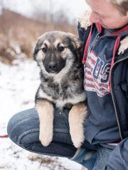 Schäferhund Mix 6 Monate Hündin
