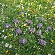 Landschildkröten Nz aus 2018 2019