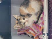 Katzenbaby Mädchen Tina 7 Wochen