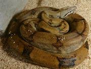 0 1 Boa constrictor sabogae