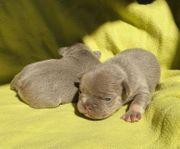 Welpen Französische Bulldoggen Rüde Hündin