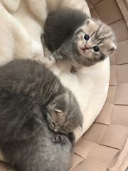 Bkh SF kitten 1 kitten