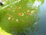 Goldfische zu verschenken