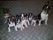 Gesunde Boston Terrier Welpen aus